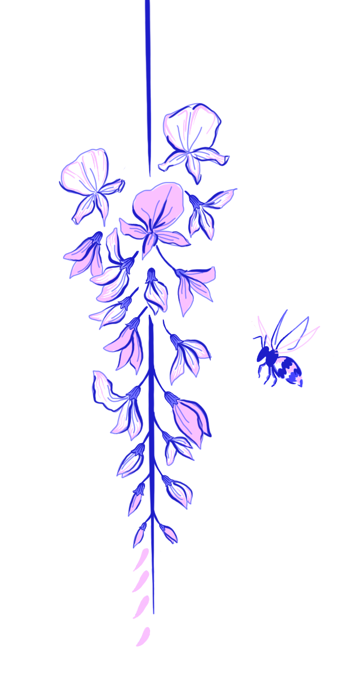 wisteria illustration